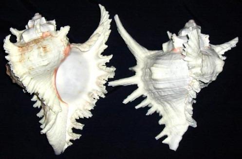 sl_murex_shell